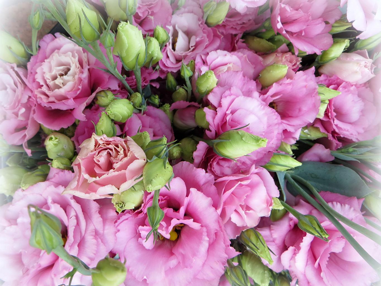 Eustoma En gros plan Rose couleur Bourgeon fleur, Lisianthus Fleurs