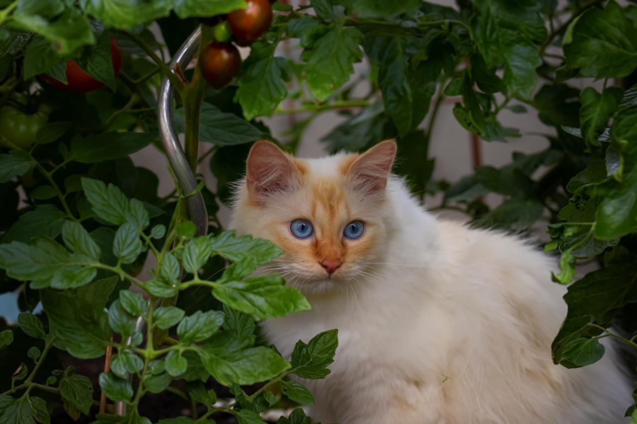 Fotos von Katzen Tiere Tiere Starren Katze Hauskatze Blick ein Tier