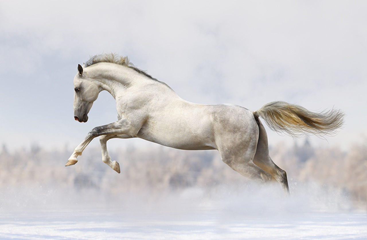 Pictures Horse White Jump Animals