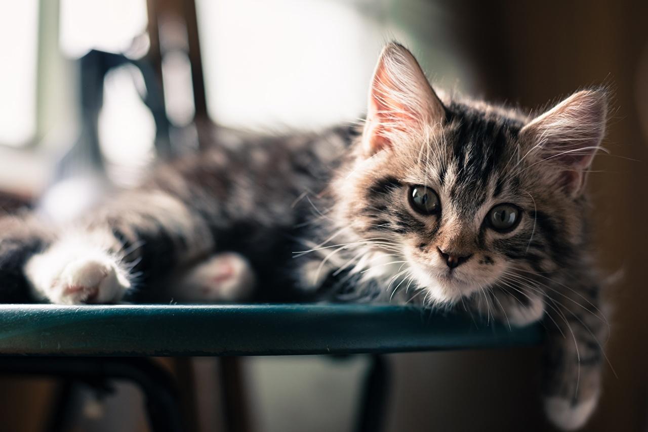 壁紙 飼い猫 凝視 子猫 動物 ダウンロード 写真