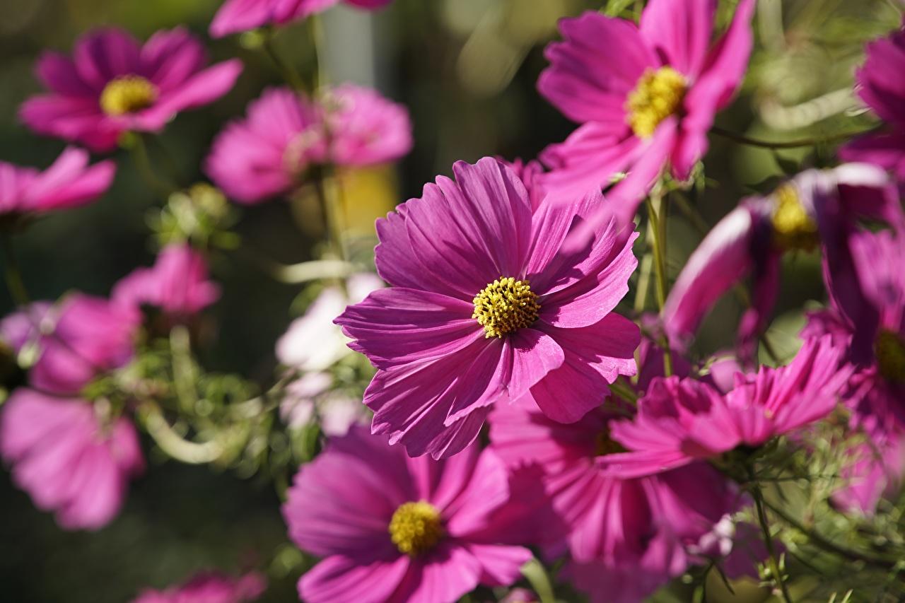 Bilder unscharfer Hintergrund Rosa Farbe Blüte Kosmeen Bokeh Blumen Schmuckkörbchen