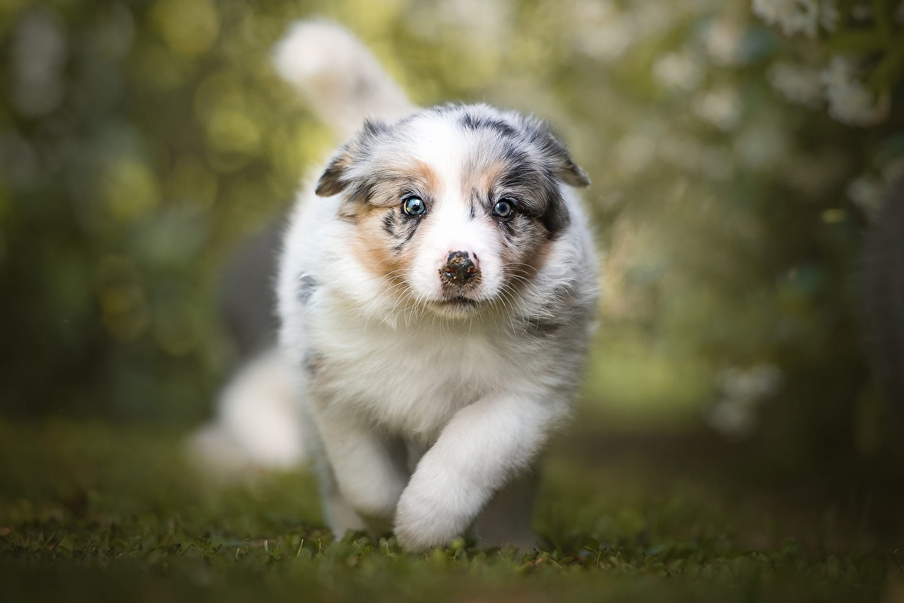 Picture Puppy Australian Shepherd dog Run Bokeh animal puppies aussie dog Dogs Running blurred background Animals