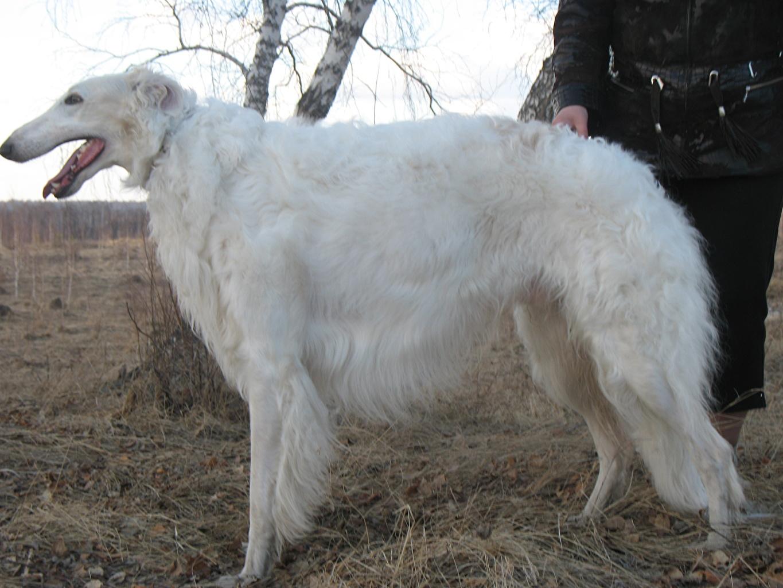 Images Sighthound Dogs White animal dog Animals