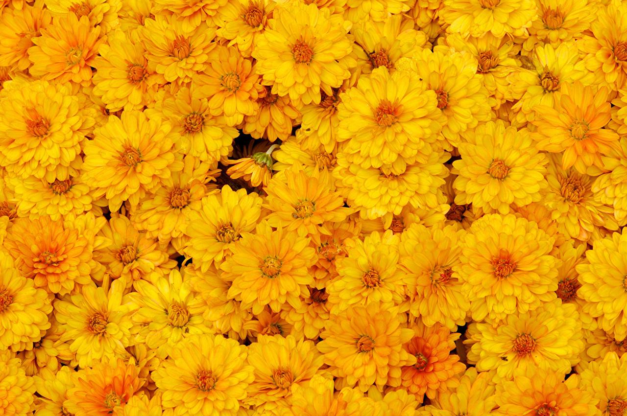壁紙 菊 たくさん 黄色 花 ダウンロード 写真