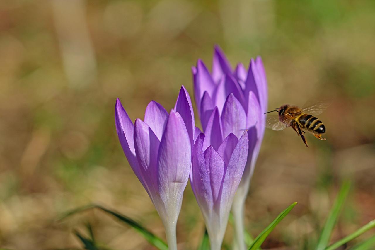 Фотография Пчелы Размытый фон Крокусы Животные Крупным планом боке Шафран вблизи животное