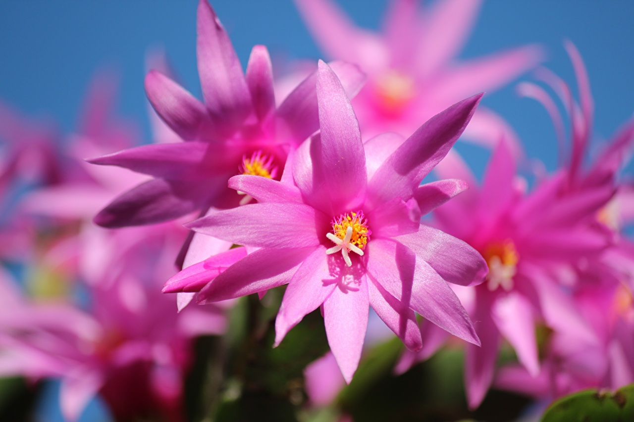 Pictures Bokeh Pink color flower cacti Closeup blurred background Flowers Cactuses