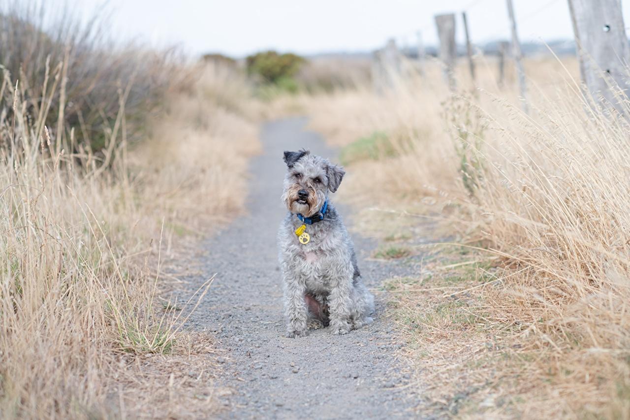Fotos hund Lakeland Terrier Weg Gras sitzt Blick ein Tier Hunde sitzen Sitzend Tiere Starren