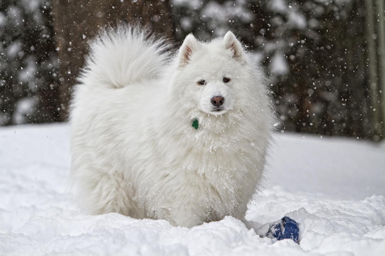 Foto Samojede hund Weiß Schnee Starren ein Tier Hunde Blick Tiere