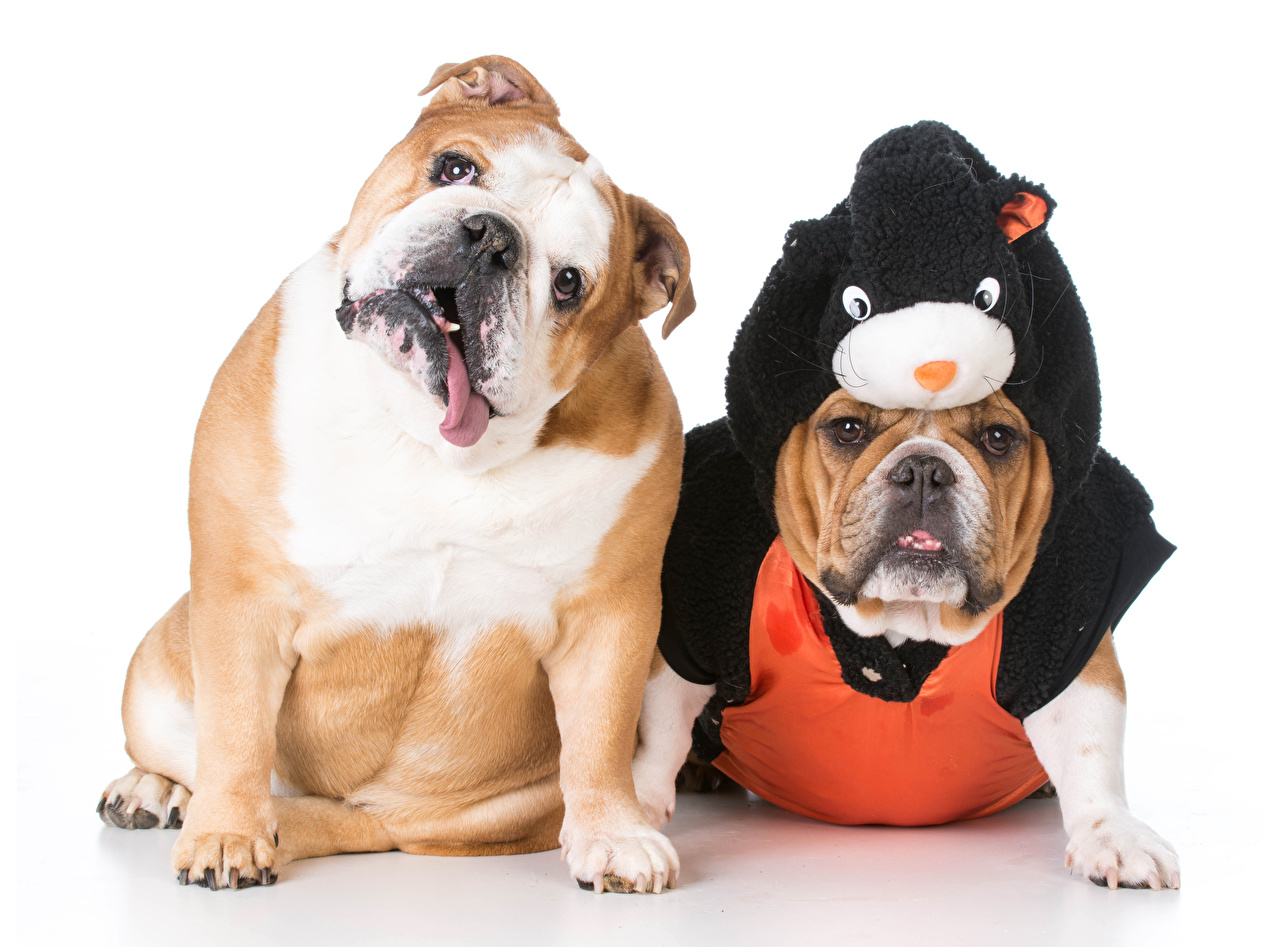 Wallpapers Bulldog Dogs 2 Uniform Animals White background Two