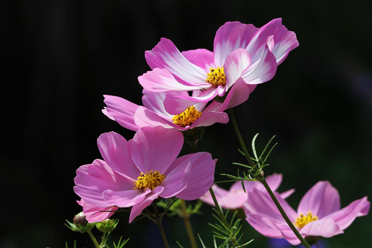 Fotos Bokeh Rosa Farbe Blumen Schmuckkörbchen unscharfer Hintergrund Blüte Kosmeen