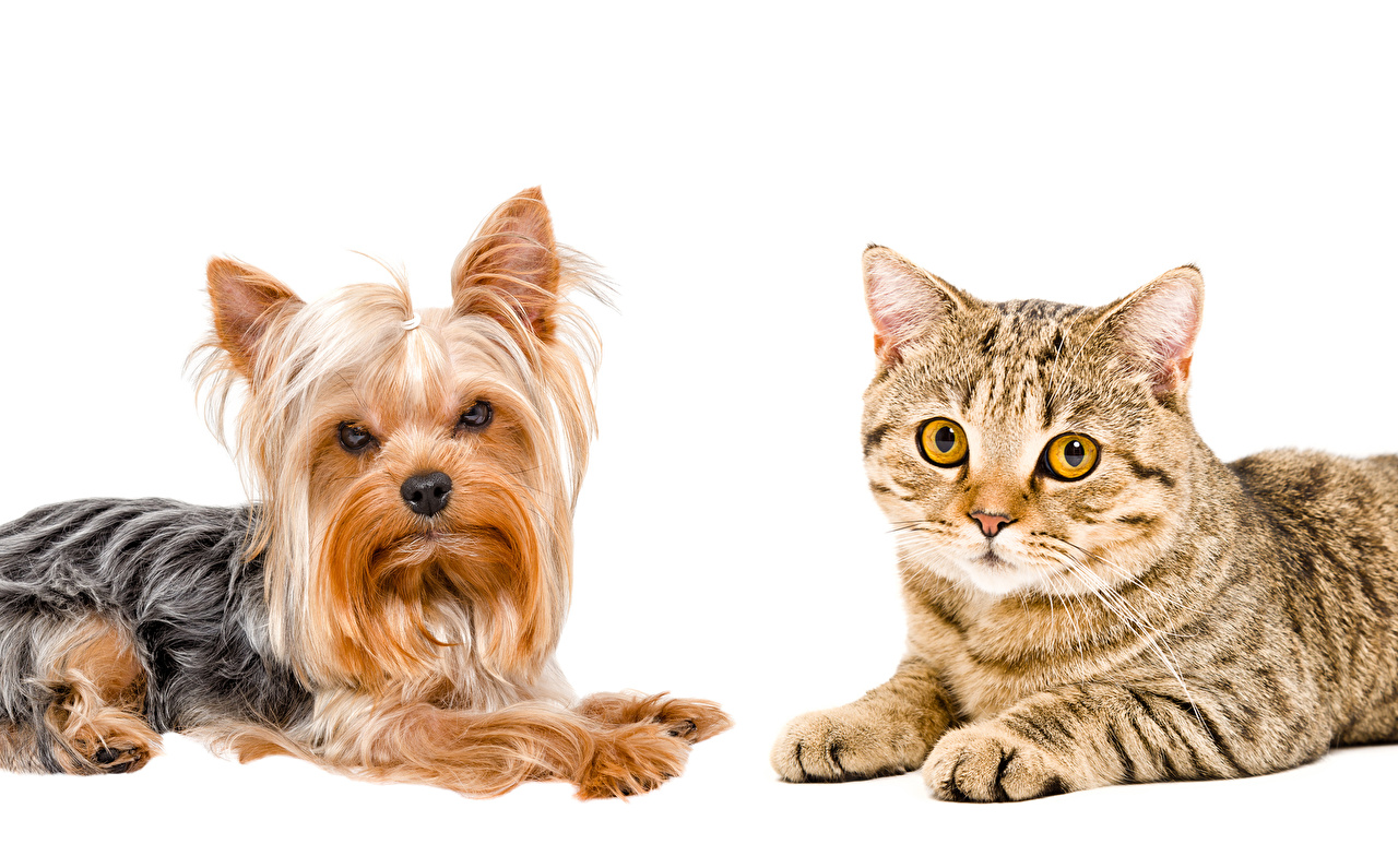 Wallpaper Yorkshire terrier dog Cats 2 animal White background cat Dogs Two Animals