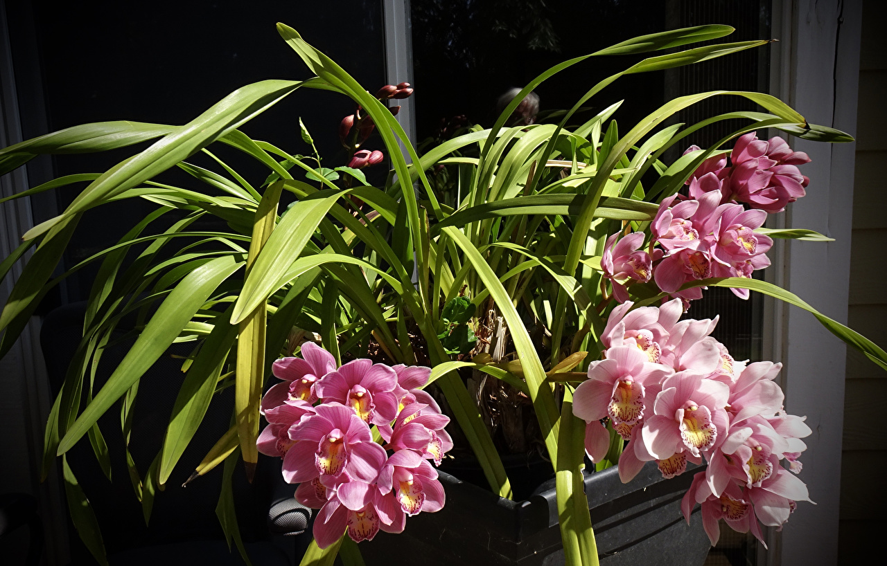 Bilder Orchideen Rosa Farbe Blüte Orchidee Blumen