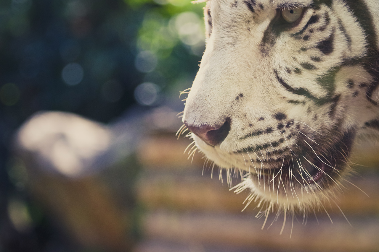 Bilder Tiger Weiß Schnurrhaare Vibrisse Schnauze Tiere Großansicht hautnah ein Tier Nahaufnahme