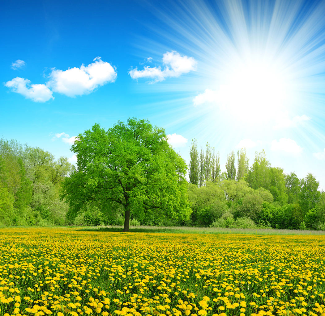 Pictures Rays of light Sun Nature Summer Sky Fields Dandelions Trees Taraxacum