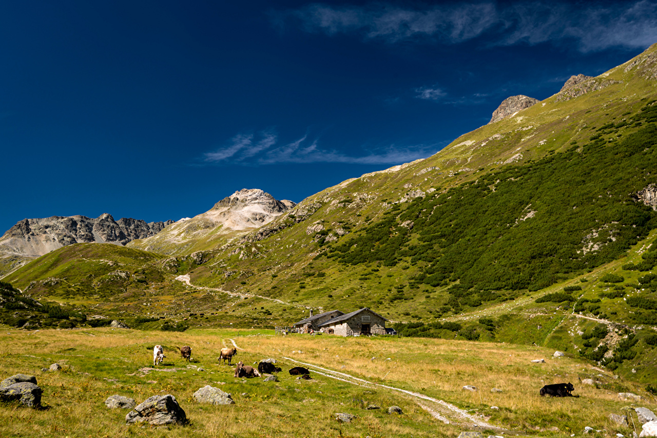 Pictures Cow Alps Switzerland Val Bever Valley Nature mountain stone animal cows Mountains Stones Animals