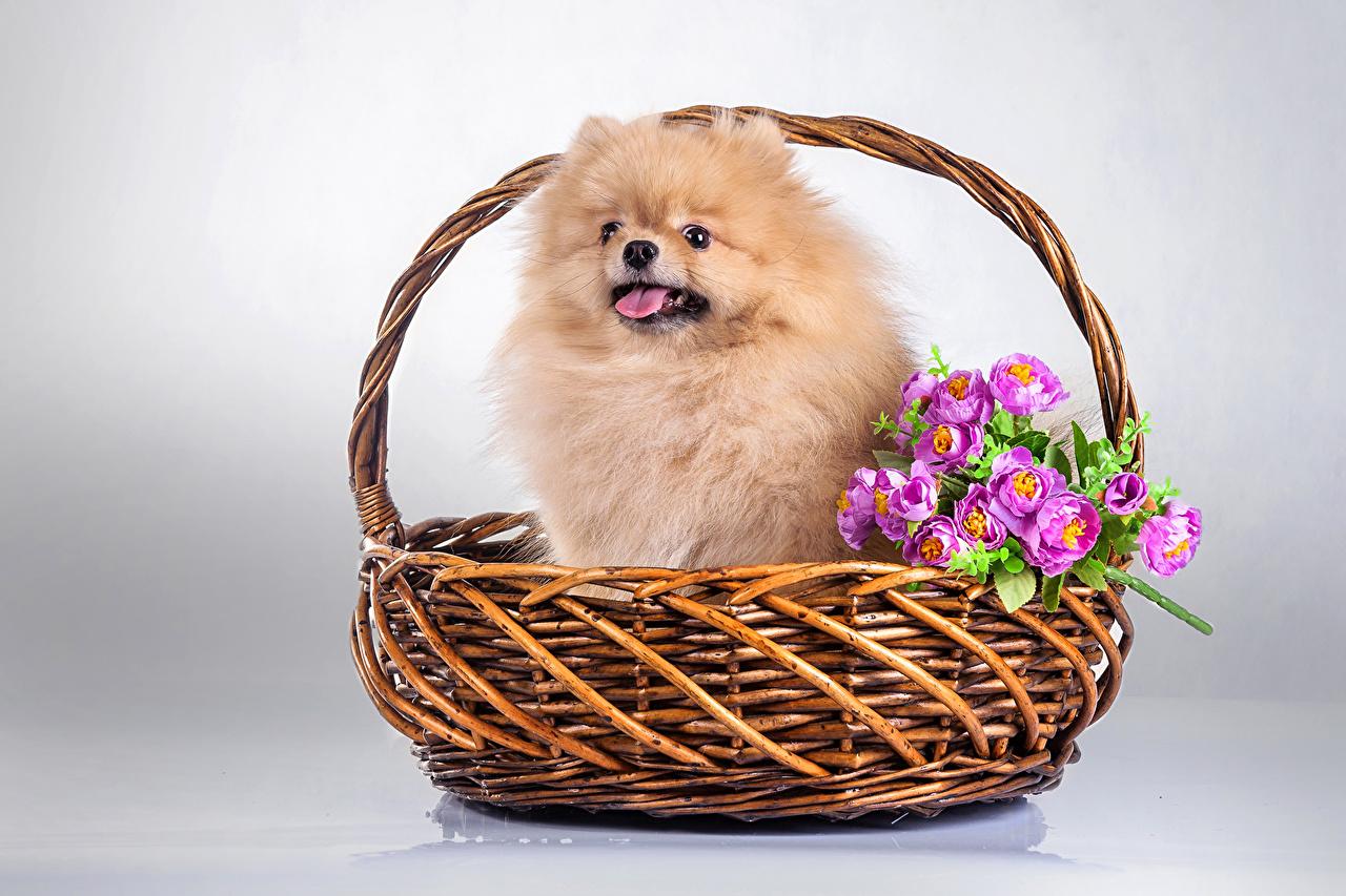 Desktop Wallpapers Spitz Dogs Wicker basket animal dog Animals