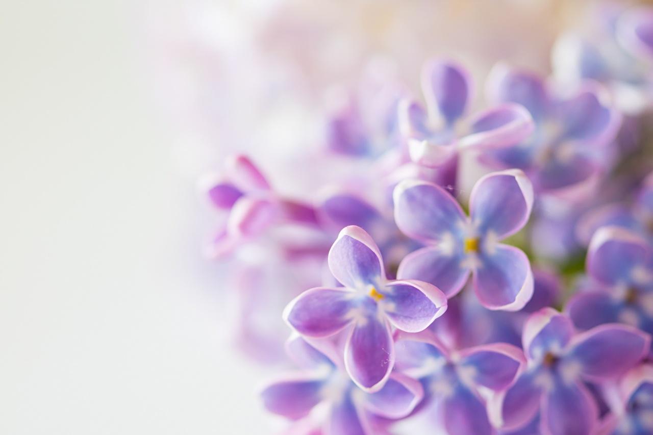 Wallpaper blurred background Lilac flower Closeup Bokeh Flowers Syringa