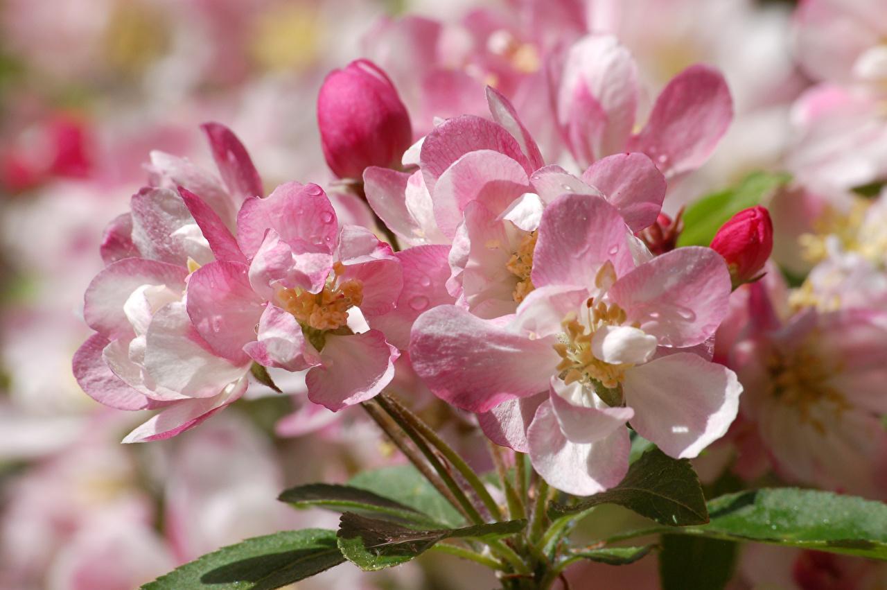 Photo Sakura Pink color Drops Flowers Closeup Cherry blossom flower