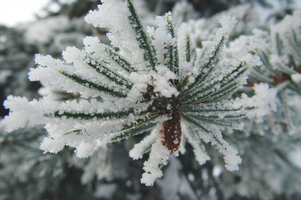Fotos Natur Fichten Schnee Makrofotografie Ast Großansicht Makro