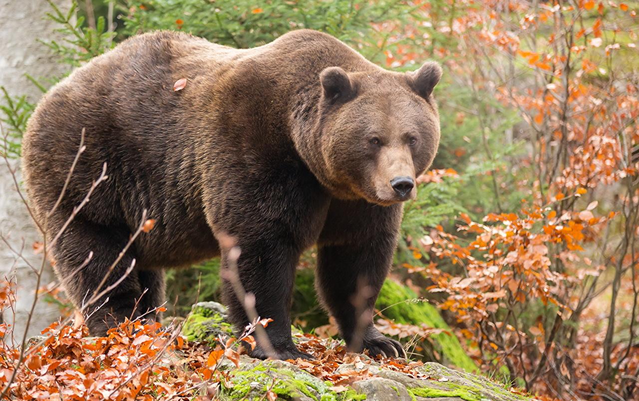 Bakgrunnsbilder Brunbjørn Bjørner Dyr bjørn