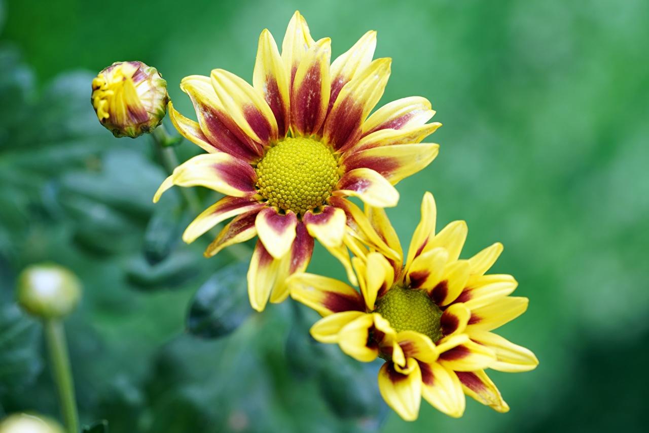 Bilder Bokeh Gelb Blumen Gazania Knospe unscharfer Hintergrund Blüte Blütenknospe