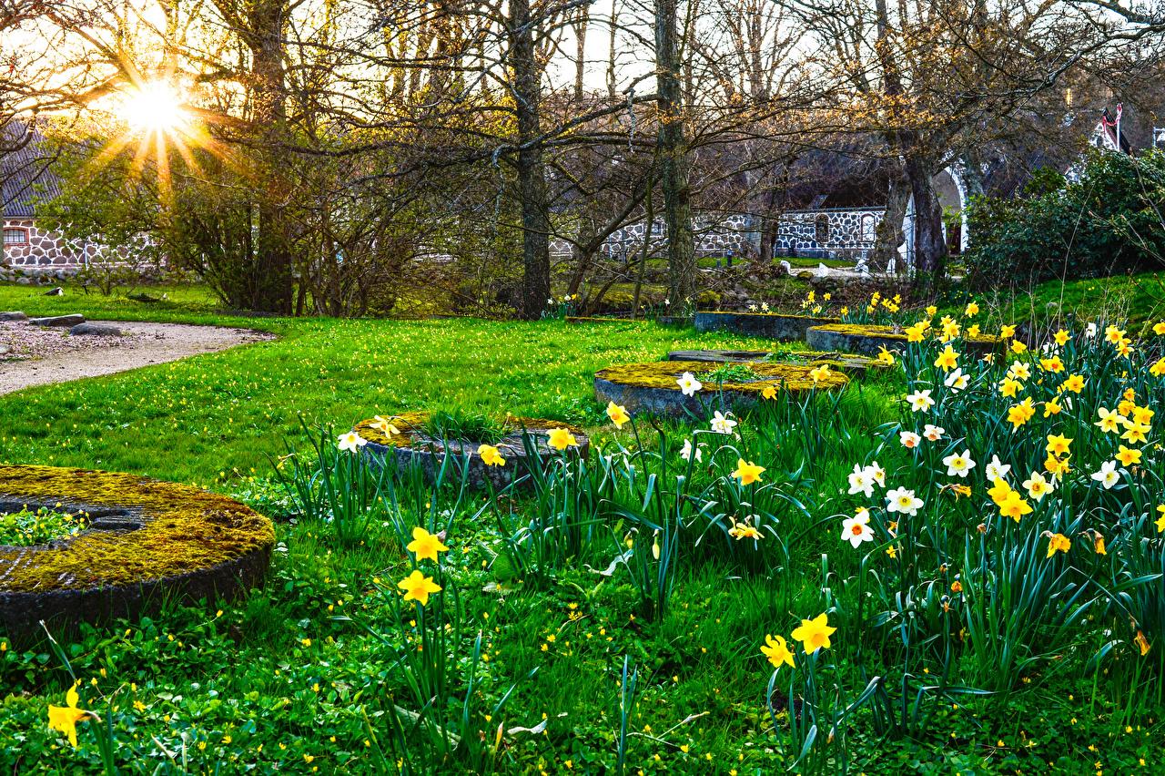 Hintergrundbilder Natur Sonne Frühling Park Narzissen Gras Laubmoose