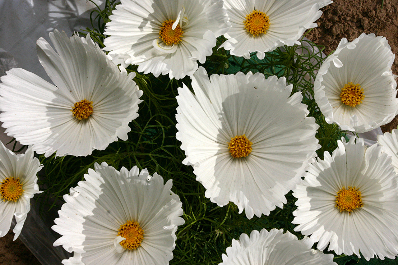 Image White flower Cosmos plant Closeup Flowers
