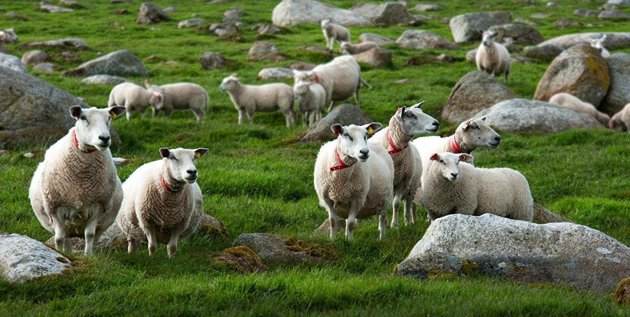 Tapety na pulpit Owce Trawa kamień Zwierzęta owca Kamienie zwierzę