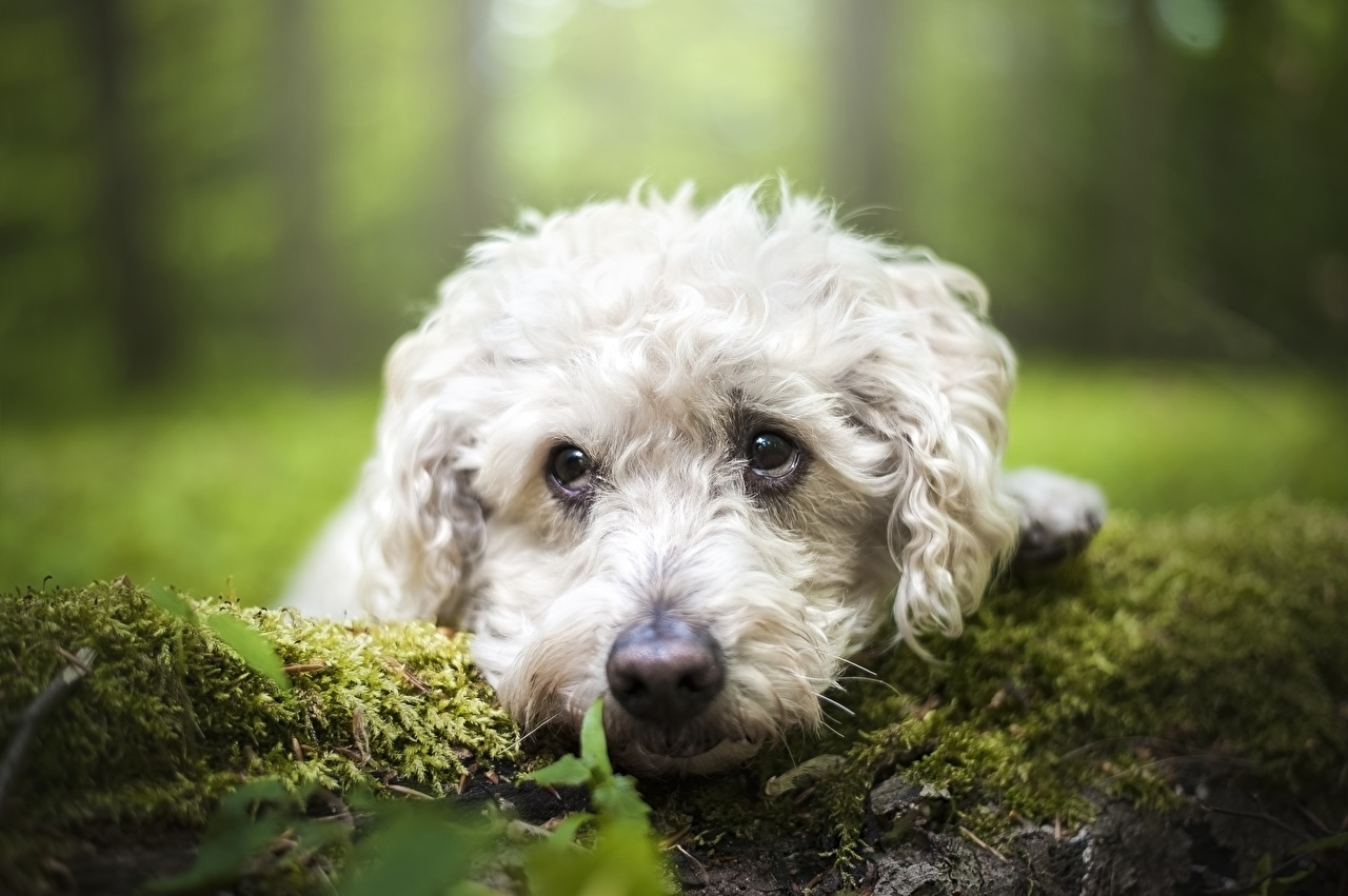 Photo Poodle Dogs Bokeh Moss Snout Glance Animals dog blurred background animal Staring
