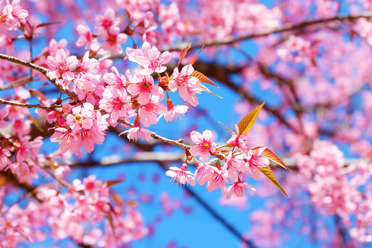 Photo Sakura flower Branches Flowering trees Cherry blossom Flowers
