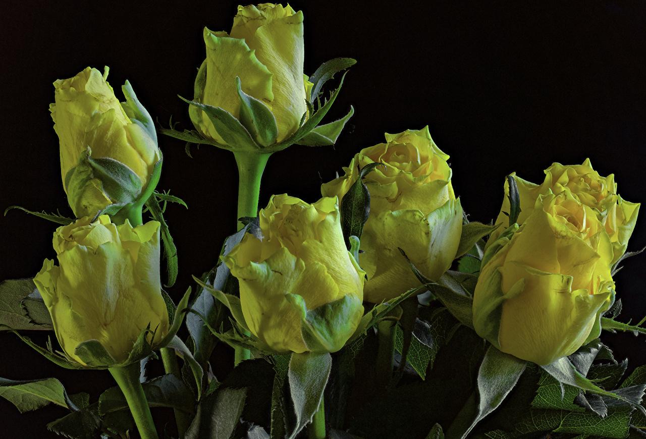 Hintergrundbilder Gelb Rosen Blumen Großansicht Schwarzer Hintergrund