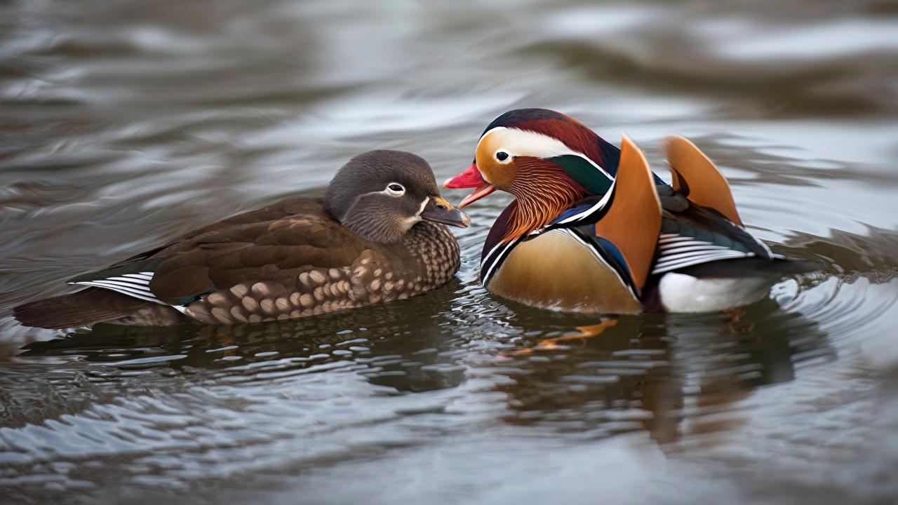 Bilder von Ente Mandarin 2 Wasser Tiere Entenvögel Zwei
