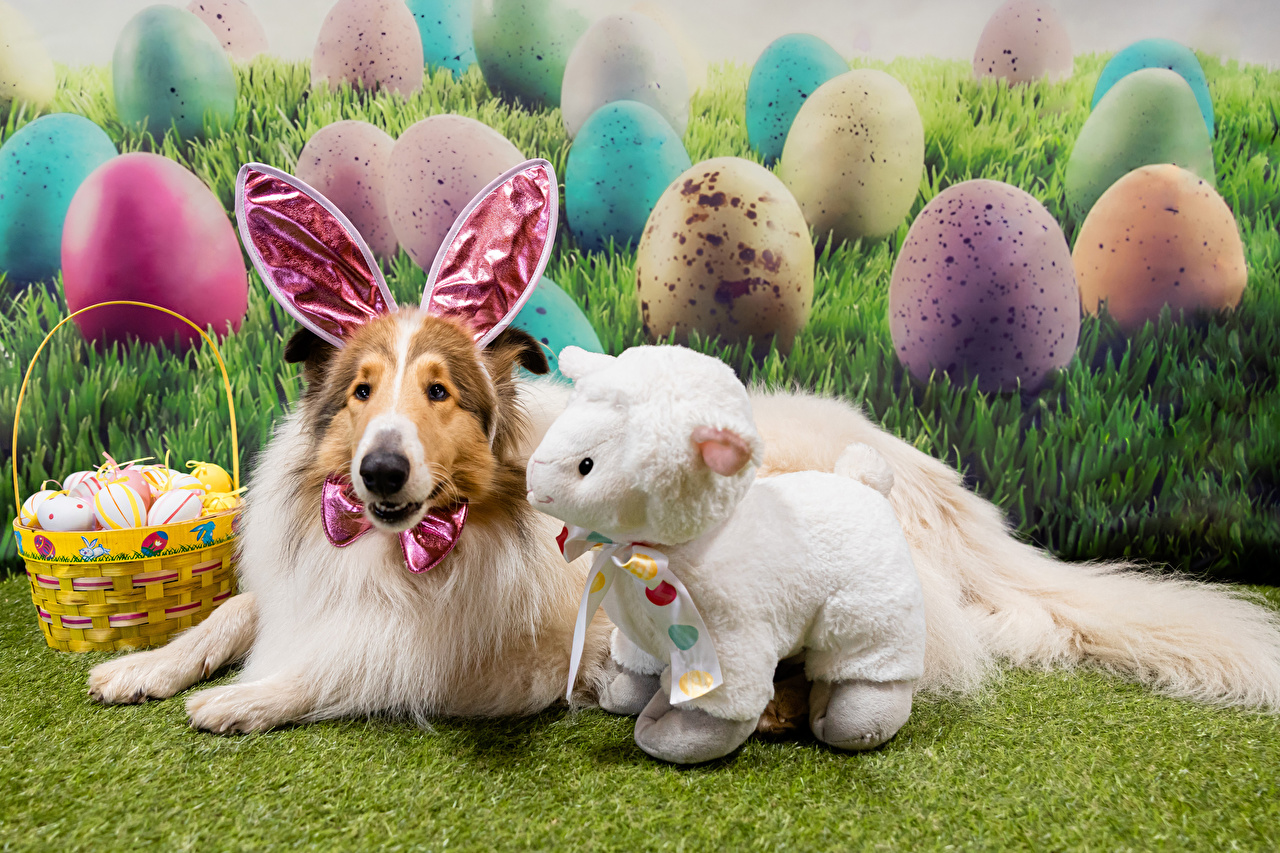Image Easter Collie dog Sheep Rabbit ears Eggs Wicker basket Animals Dogs egg animal