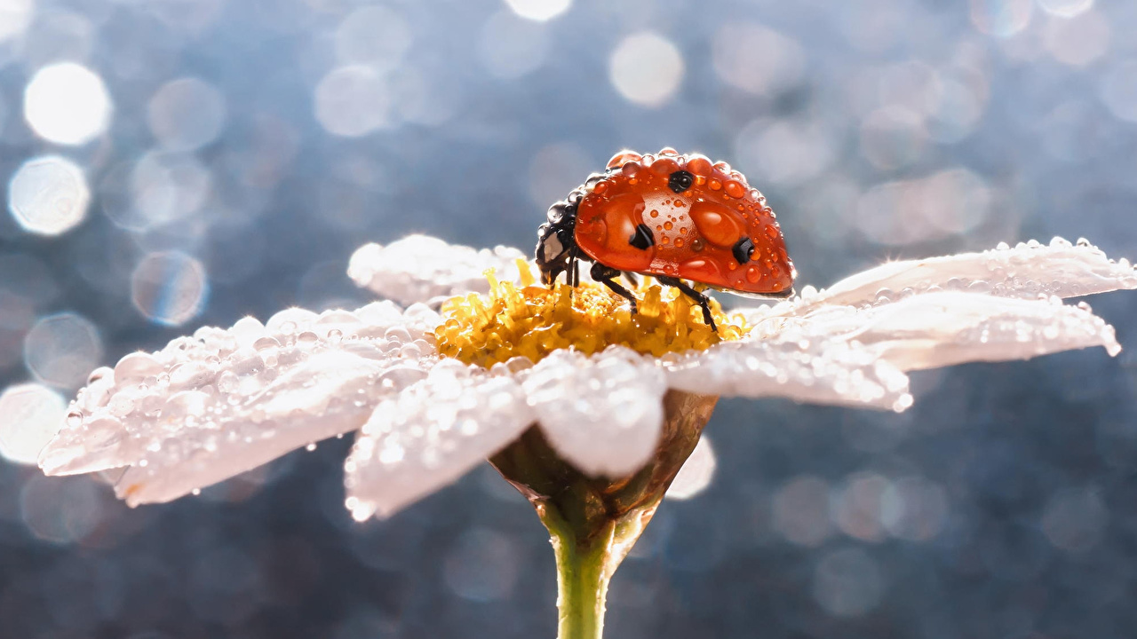 Photos Ladybird Drops Camomiles Closeup Animals Ladybugs Lady beetle Coccinellidae matricaria animal
