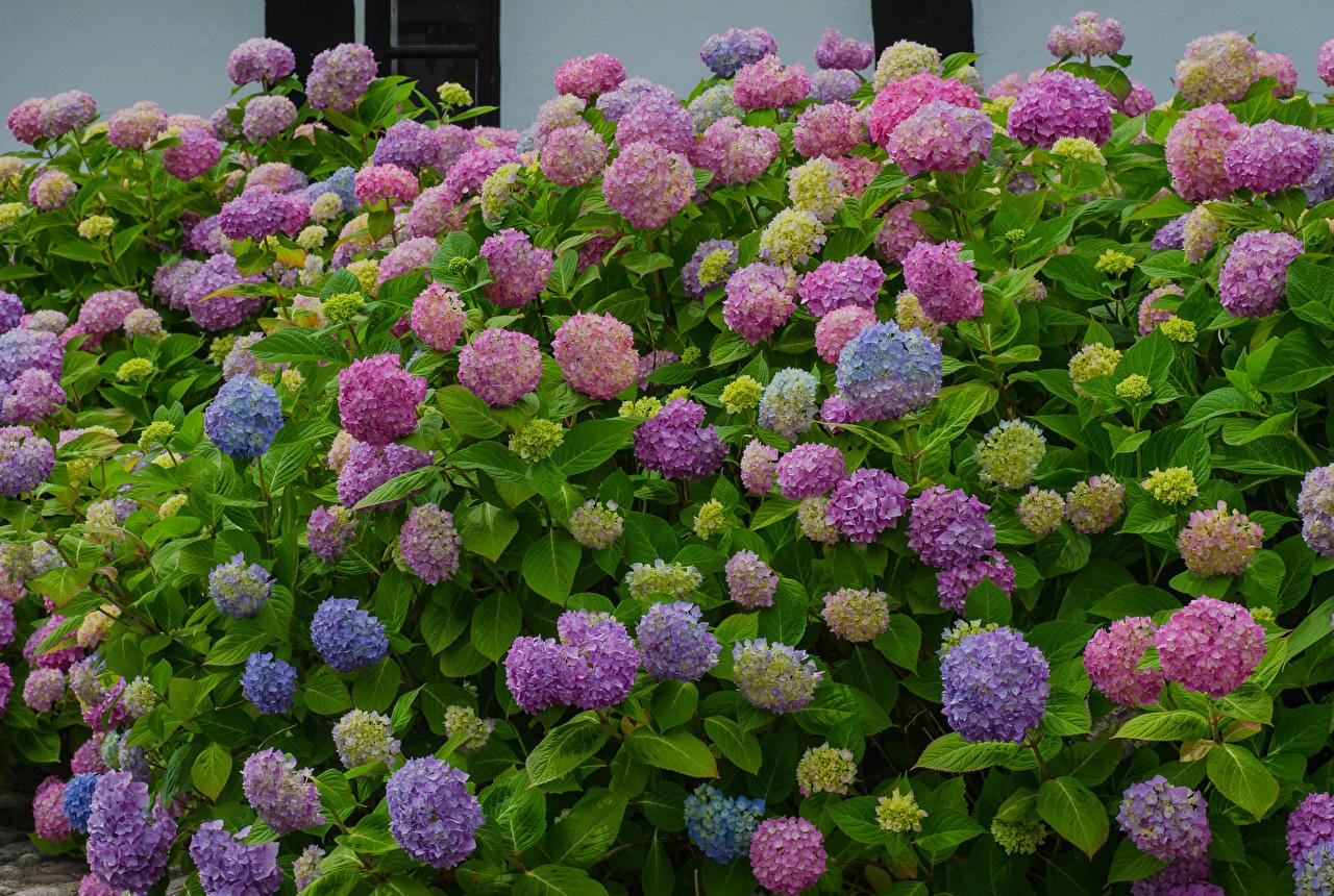 Wallpaper Multicolor flower Hydrangea Flowers