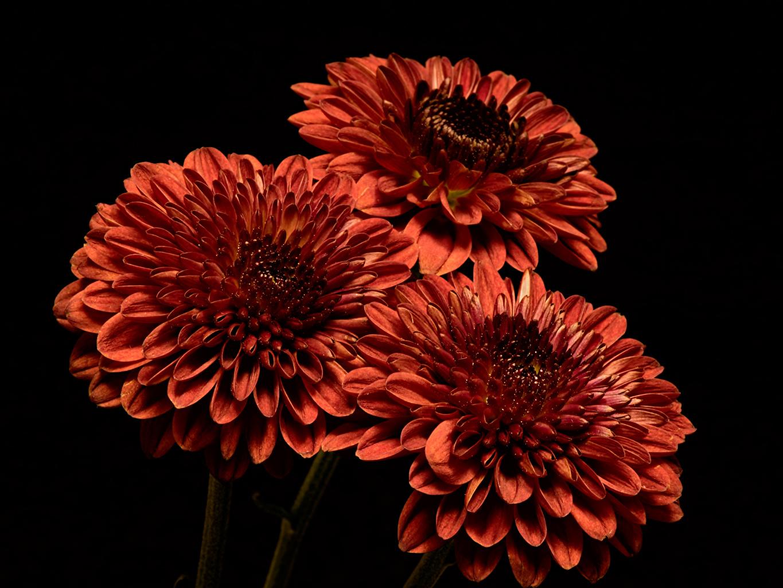 Chrysanthemum De perto Fundo preto Três 3 Laranja flor, crisântemos Flores