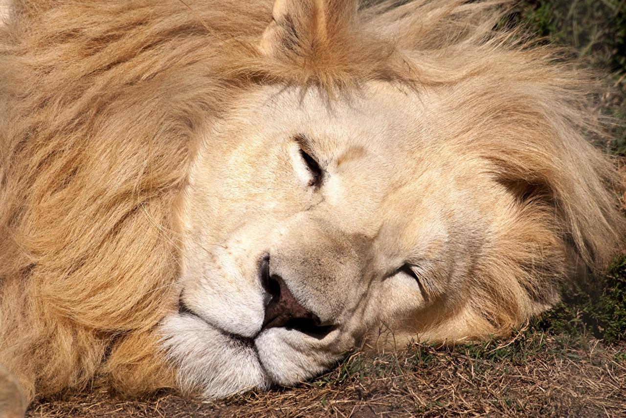 Images Lions Sleep Snout animal lion sleeping Animals