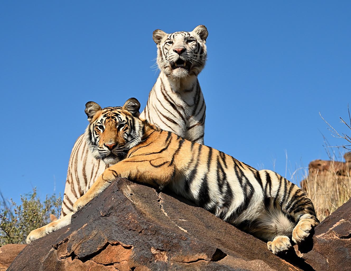 Photo Tigers esting Two Animals tiger laying Lying down 2 animal