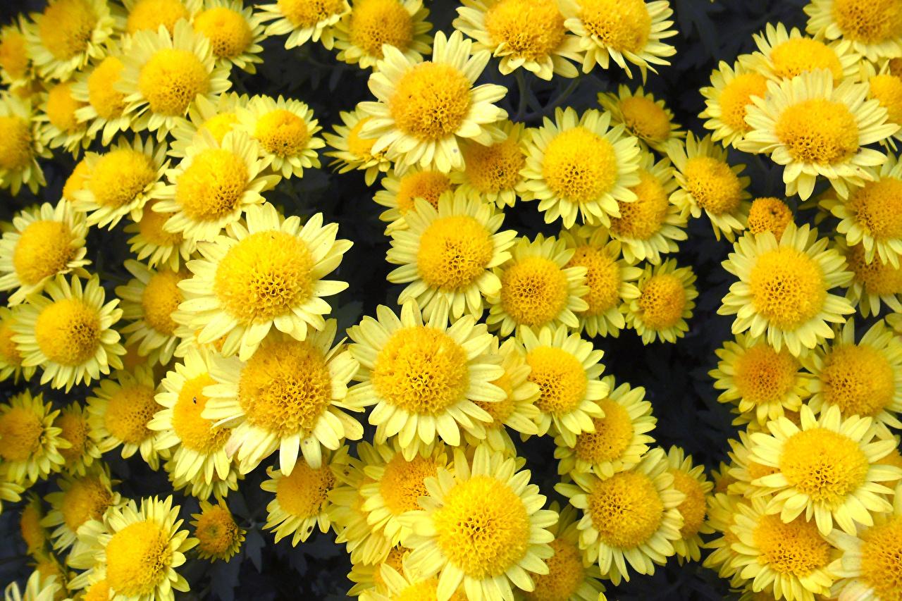 Desktop Wallpapers Yellow Mums Flowers Closeup