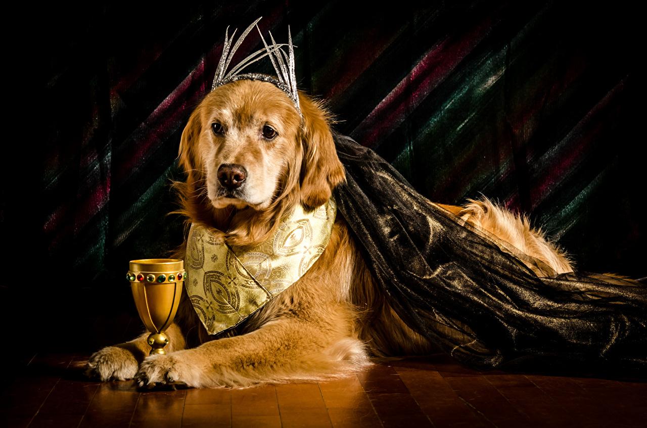 Bilder von Golden Retriever Hunde Weinglas Tiere hund ein Tier