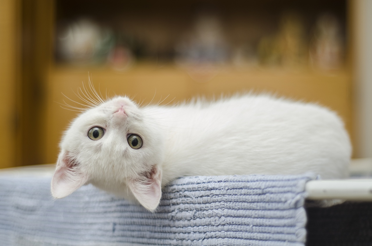 Photo kitty cat Cats esting White Glance animal Kittens cat laying Lying down Staring Animals