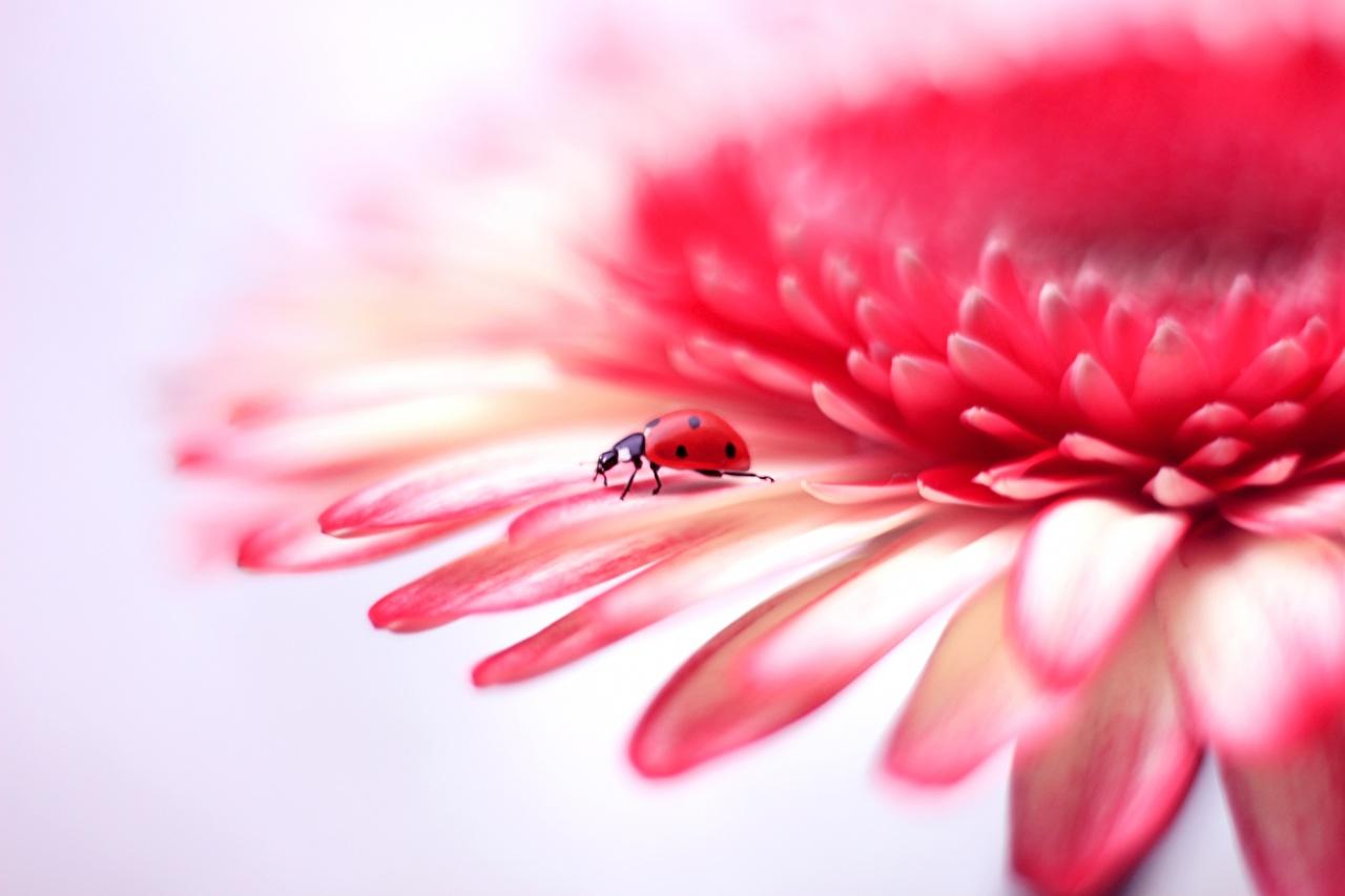 Desktop Hintergrundbilder Marienkäfer Gerbera kronblätter Blumen hautnah Blütenblätter Blüte Nahaufnahme Großansicht