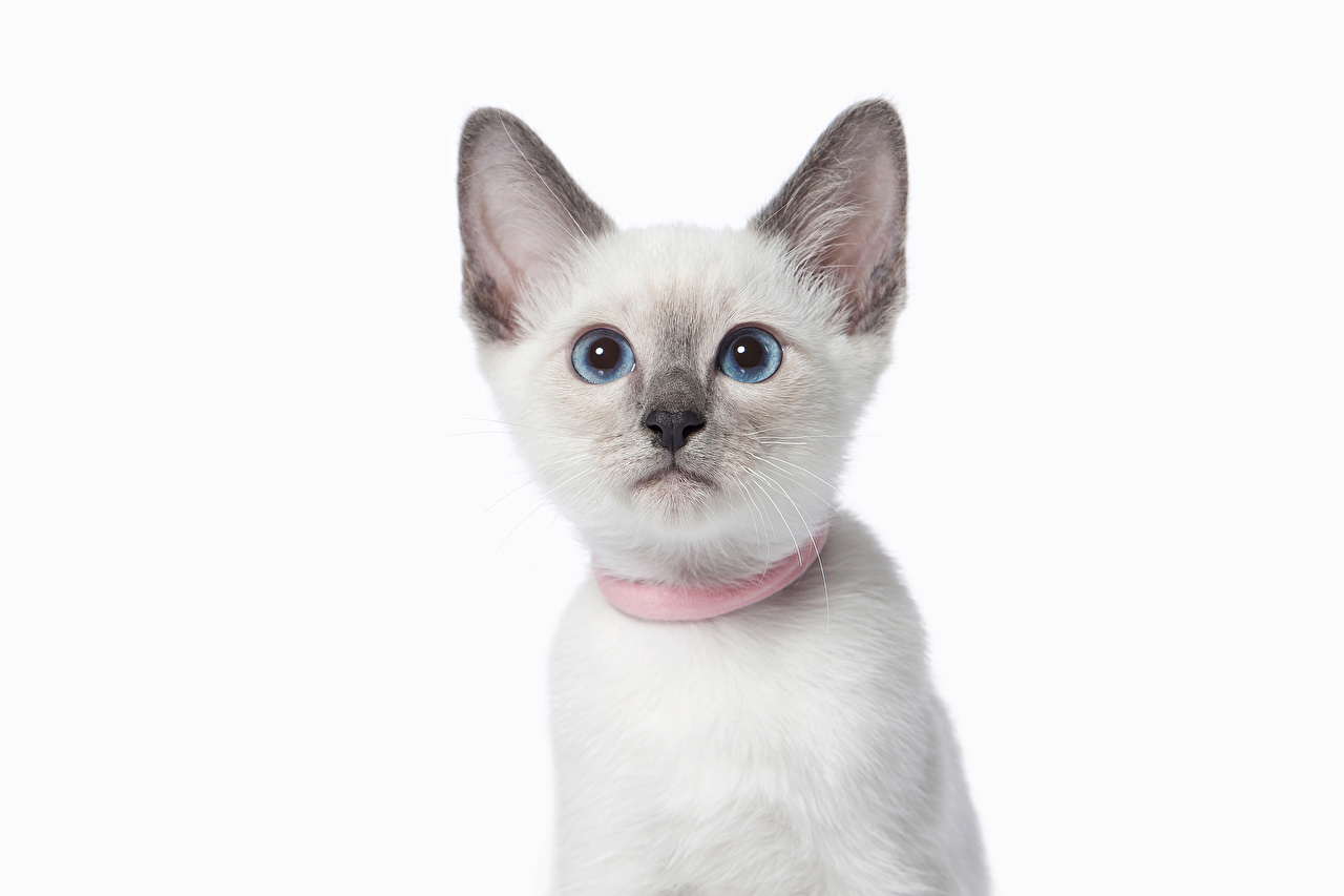 Wallpaper cat Snout Animals Staring White background Cats animal Glance