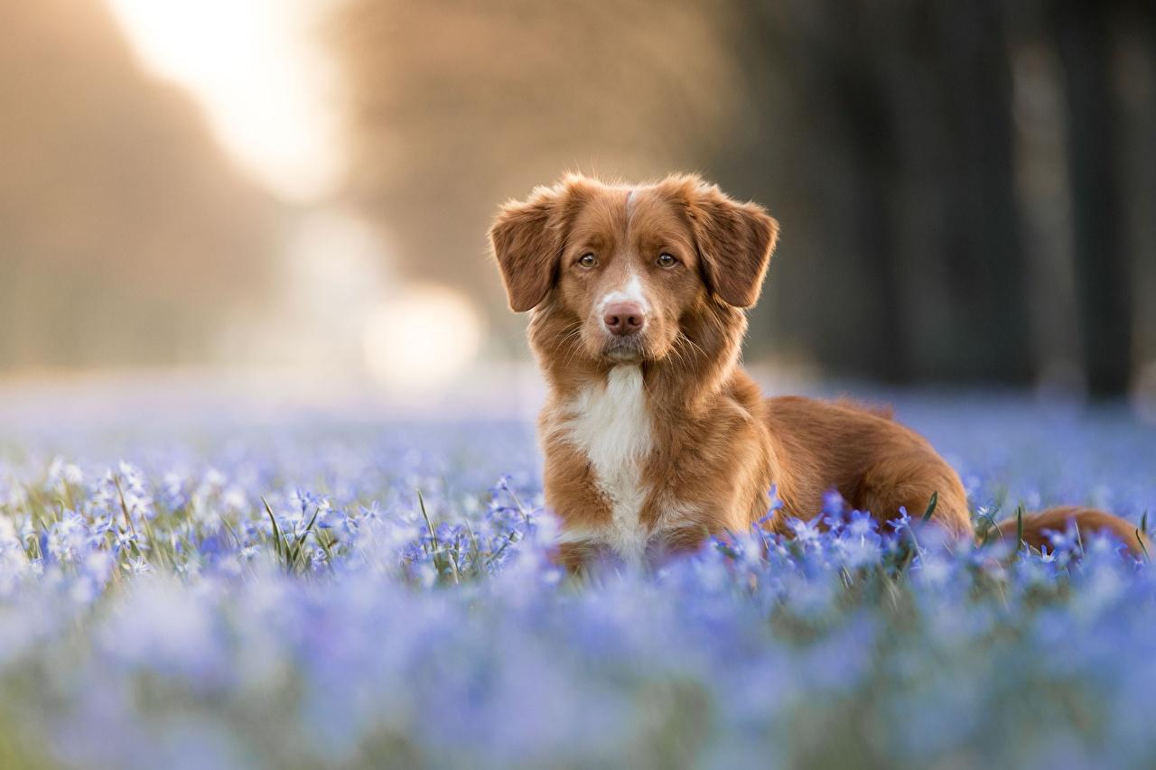 zdjęcia Retriever z Nowej Szkocji Psy domowe rozmazane tło przyroda Pysk Spojrzenie Zwierzęta pies domowy Bokeh Kufa wzrok zwierzę