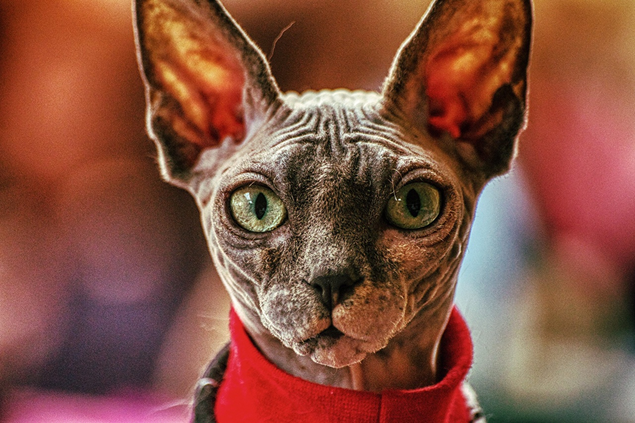 Pictures Sphynx cat Cats Bokeh Snout Head animal Glance cat blurred background Animals Staring