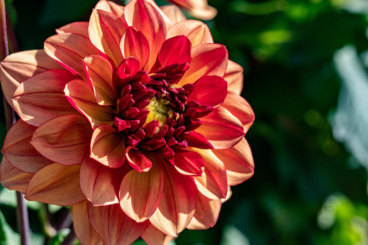 Desktop Wallpapers Bokeh flower Dahlias Closeup blurred background Flowers