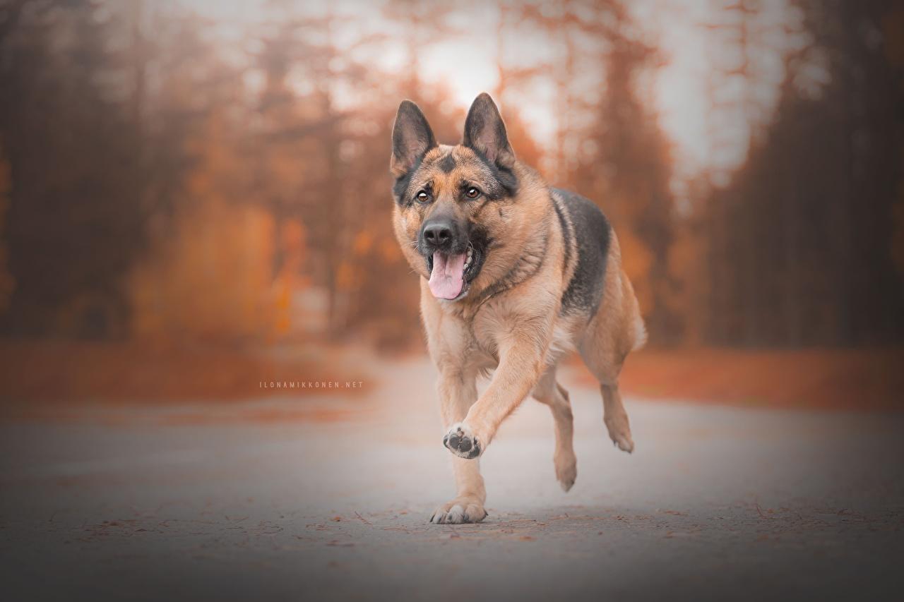 Photos German Shepherd dog Running Tongue animal Dogs Run Animals