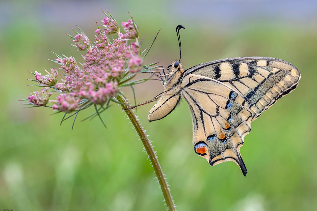 Bilder von Insekten Schmetterlinge machaon Tiere Nahaufnahme Schmetterling hautnah ein Tier Großansicht