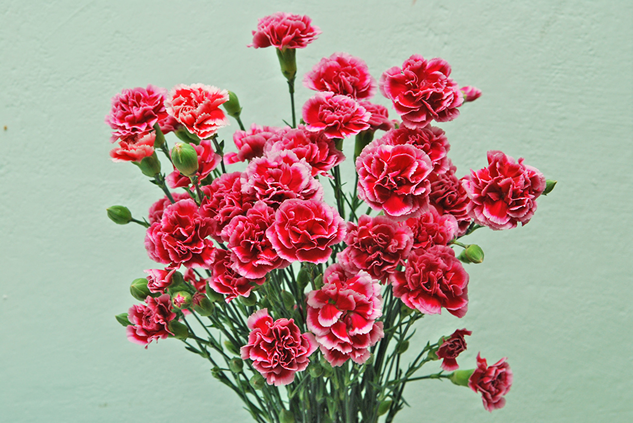 Picture Bouquets Red flower Carnations Colored background bouquet Flowers dianthus