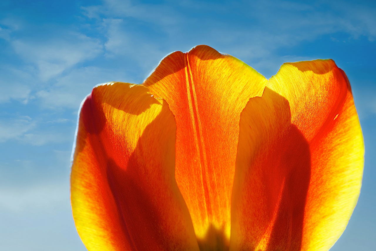 Image tulip Orange Flowers Closeup Tulips flower